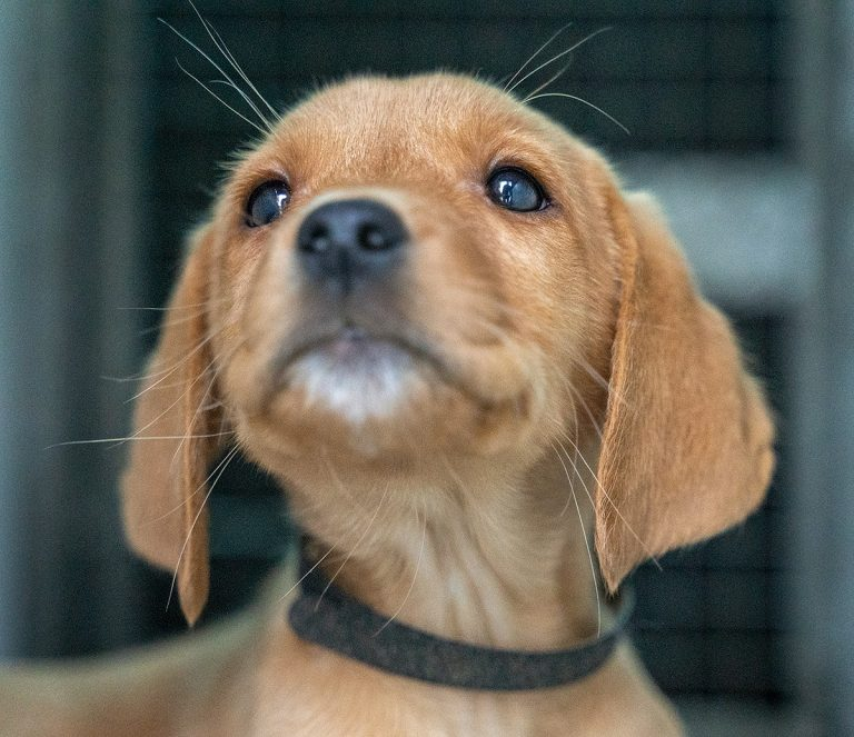Fox Red Labrador Puppy Transport to Scotland