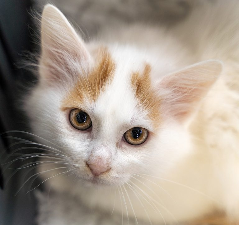 Turkish Van Kitten